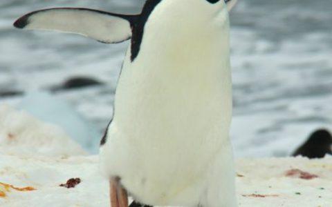 小企鹅成年以后毛还没有换完。。。