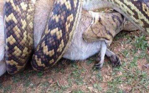 一群巨型海蟾蜍搭3米5长蟒蛇的便车逃亡